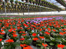 "Load image into Gallery viewer, Sunpatiens overall picture showing the sun loving beauty of Sunpatien 4"" pots"