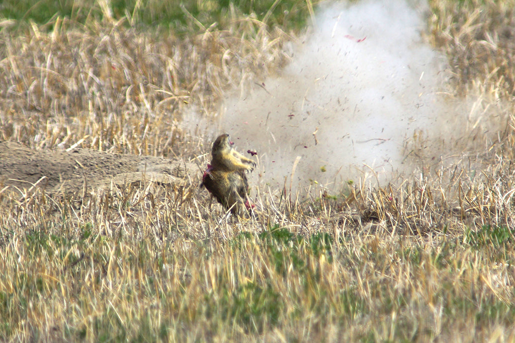 Hunting Prairie Dogs with Headwaters Ammunition 223 Rem Sierra GameKing