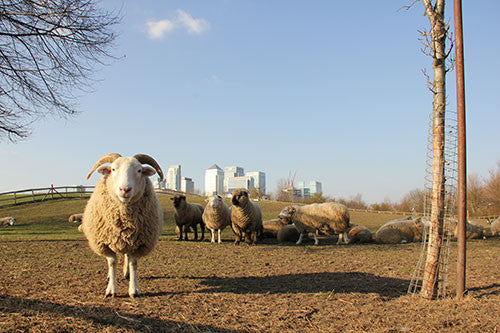 Mudchute Farm, London - The sheeple