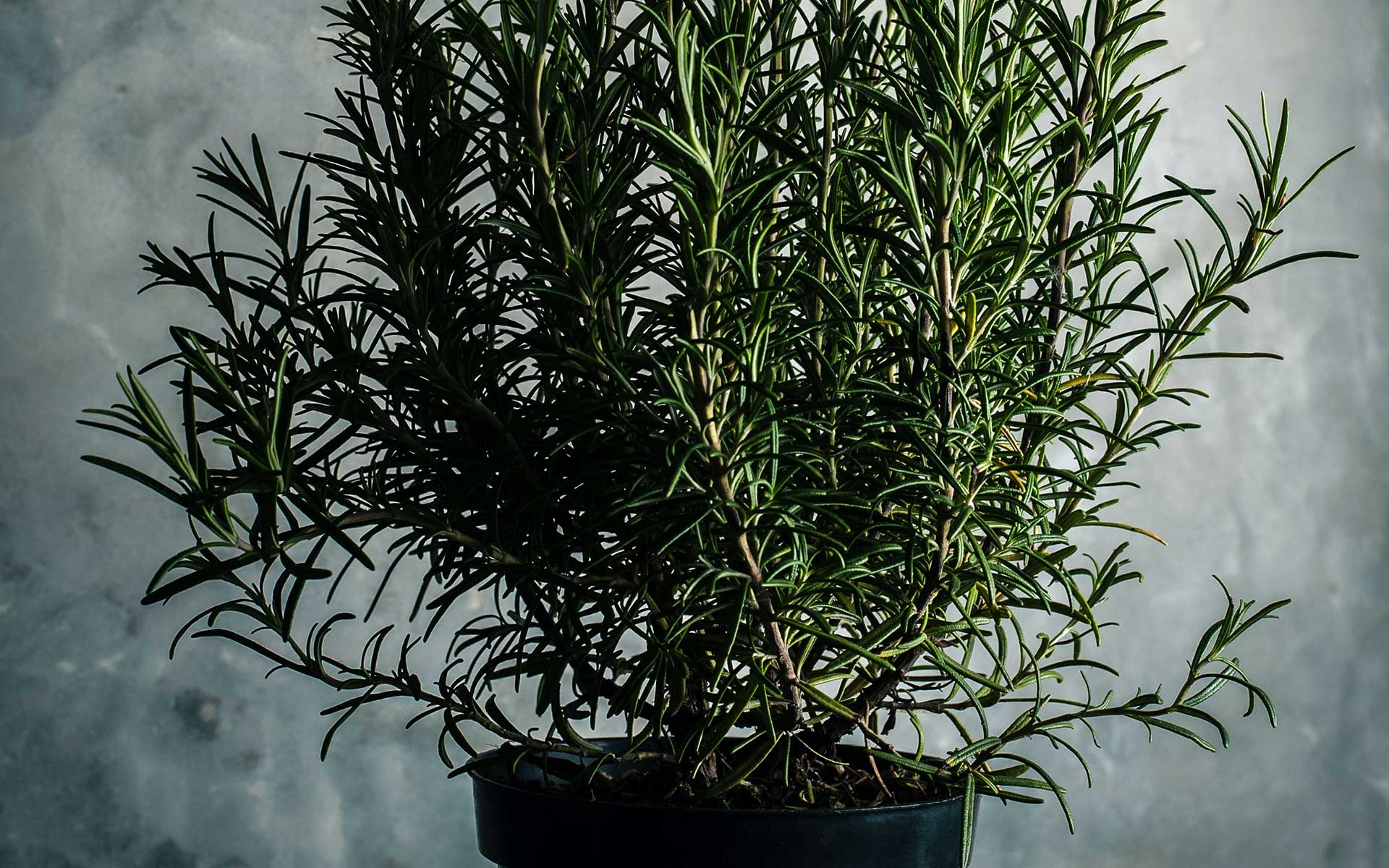 Grand Mothers love Rosemary