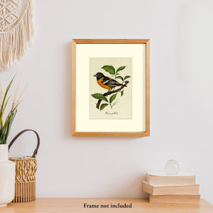 Art prints for sale-Realistic rendering of a Baltimore Oriole perched on a branch of a mulberry tree