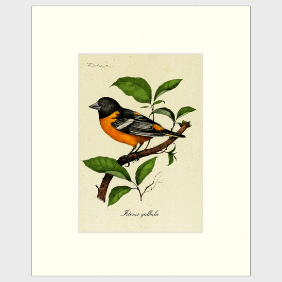 Art prints for sale-Realistic rendering of a Baltimore Oriole perched on a branch of a mulberry tree.