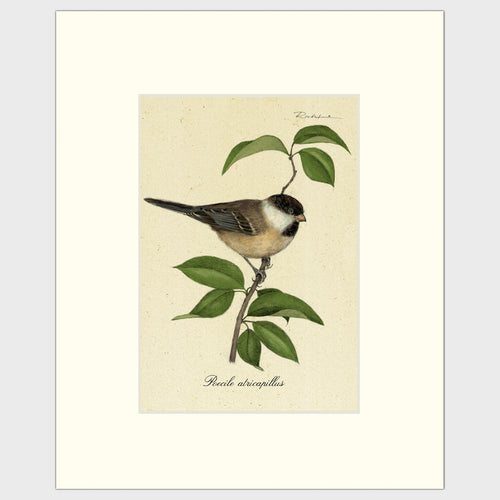 Art prints for sale-Traditional rendering of a black-capped chickadee resting on a branch
