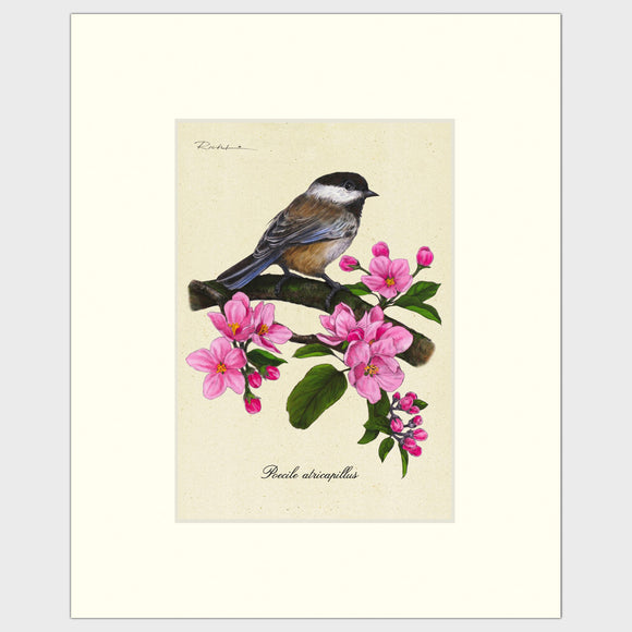 Art prints for sale-Traditional rendering of a black-capped chickadee on a branch full of apple blossoms