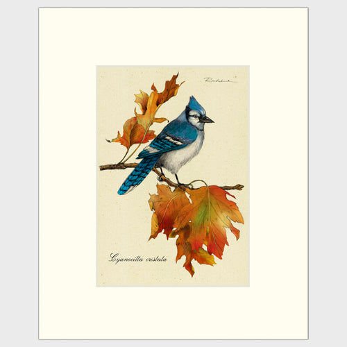 Art prints for sale-Traditional rendering of a bluejay on a branch with autumn leaves