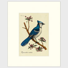 Load image into Gallery viewer, Art prints for sale-Traditional rendering of a bluejay on a branch with spring flower buds