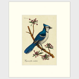 Art prints for sale-Traditional rendering of a bluejay on a branch with spring flower buds
