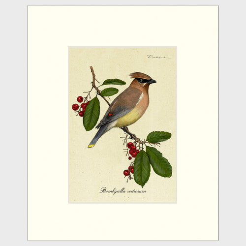 Art prints for sale-Traditional rendering of a cedar waxwing perched on a berry bush