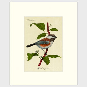 Art prints for sale-Traditional rendering of a chestnut-backed chickadee perched on a dogwood branch