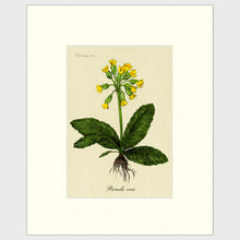 Load image into Gallery viewer, Cowslip
