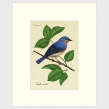 Load image into Gallery viewer, Art prints for sale-Traditional rendering of an eastern bluebird perched on a branch of a mulberry tree