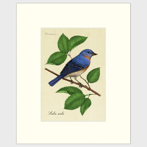 Art prints for sale-Traditional rendering of an eastern bluebird perched on a branch of a mulberry tree