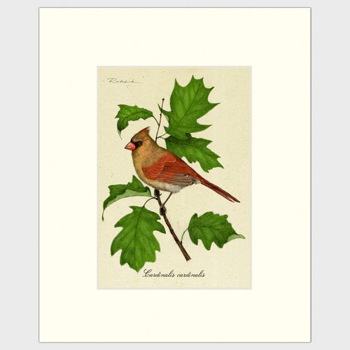 Art prints for sale-Traditional rendering of a female cardinal on a branch of a maple tree