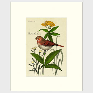 Art prints for sale-Traditional rendering of a fox sparrow resting on a small plant