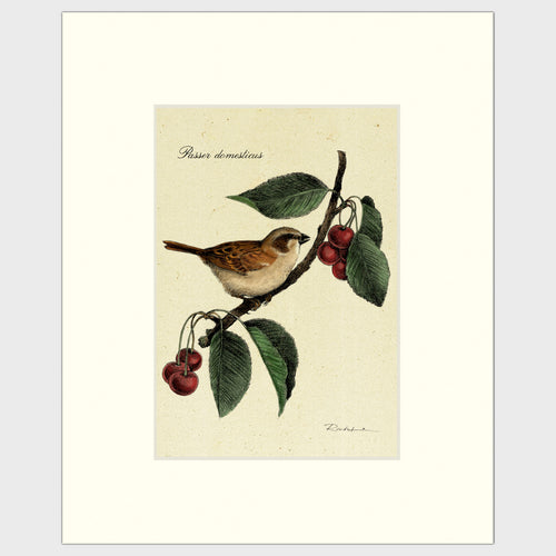 Art prints for sale-Traditional rendering of a house sparrow on a branch of a crabapple tree