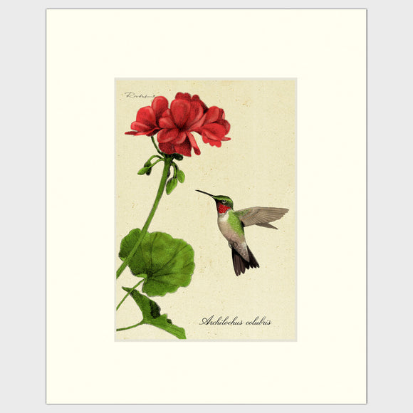 Art prints for sale-Traditional rendering of a hummingbird approaching a geranium