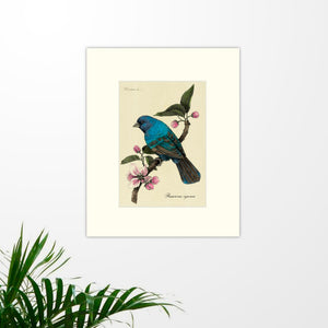 Art prints for sale-Traditional rendering of a indigo bunting resting on a branch with cherry blossoms