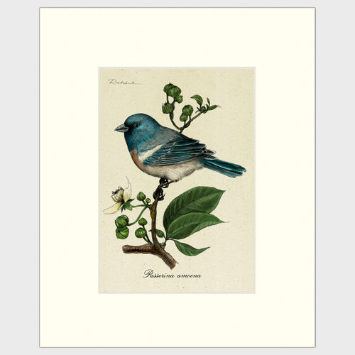 Art prints for sale-Traditional rendering of a lazuli bunting perched on a branch