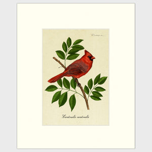 Art prints for sales-Traditional rendering of a male cardinal perched on a branch of an ash tree