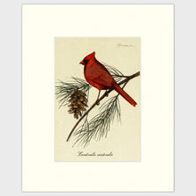 Load image into Gallery viewer, Art prints for sale-Traditional rendering of a male cardinal resting on a branch of a pine tree