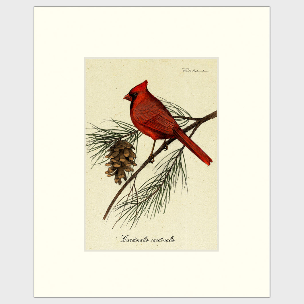 Art prints for sale-Traditional rendering of a male cardinal resting on a branch of a pine tree