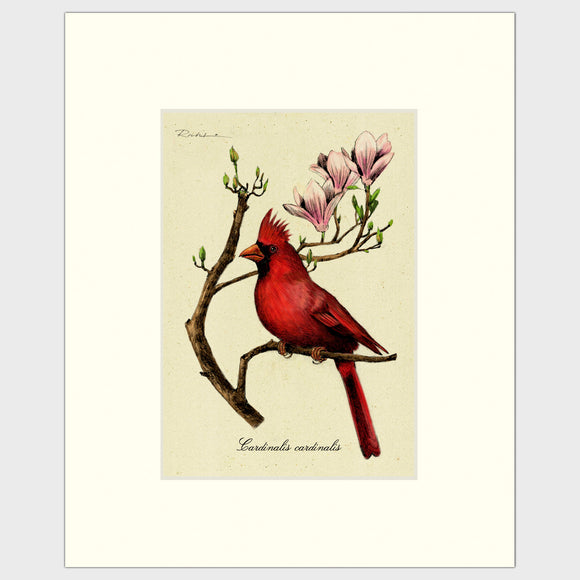 Art prints for sale-Traditional rendering of a male cardinal sitting on a branch of a magnolia tree