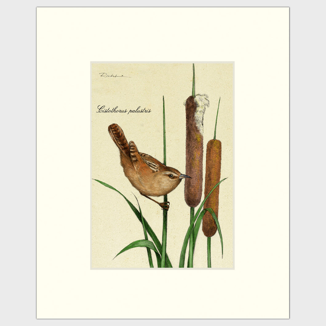 Art prints for sale-Traditional rendering of a marsh wren landing on a cattail