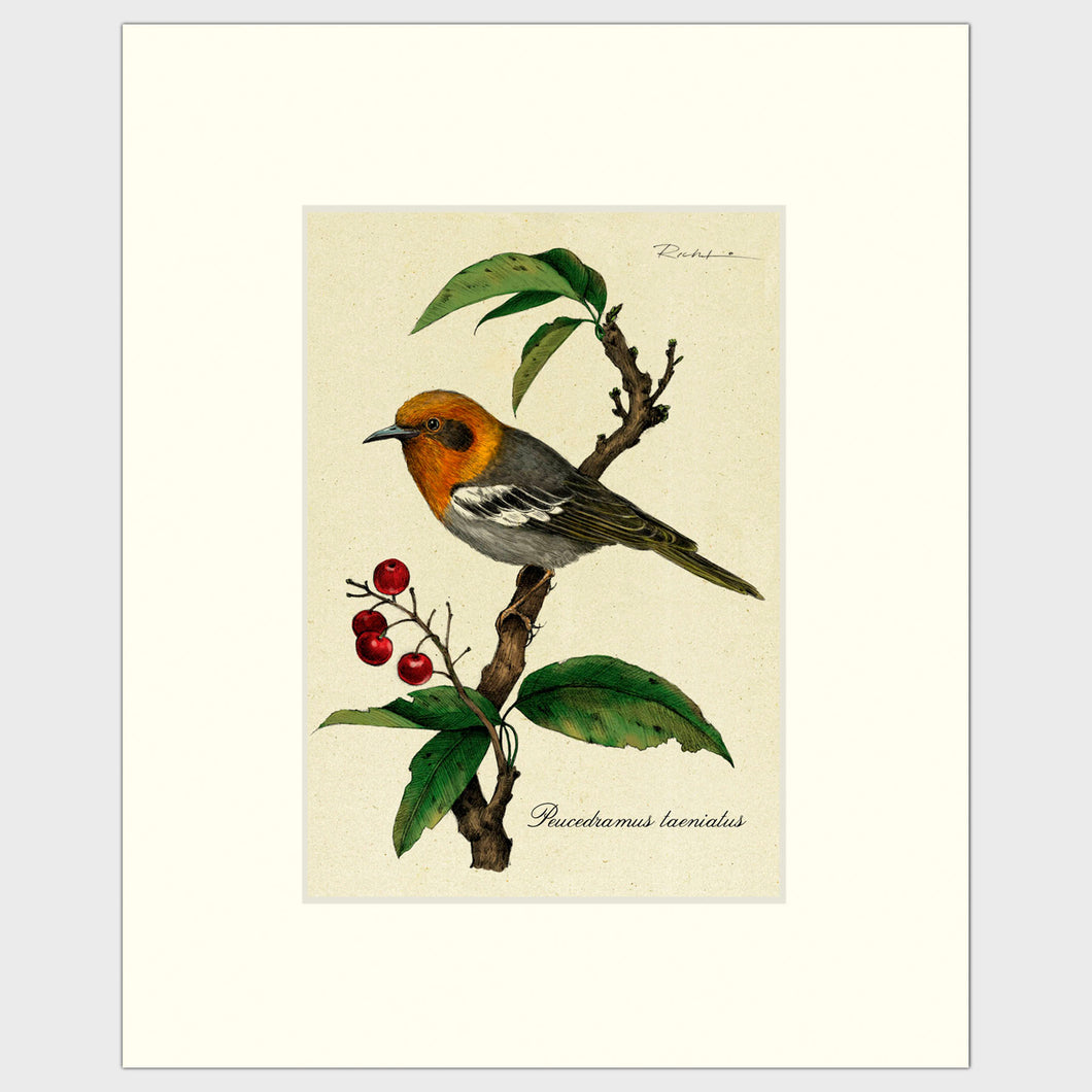 Art prints for sale-Traditional rendering of an olive warbler sitting calmly on a branch of a berry tree