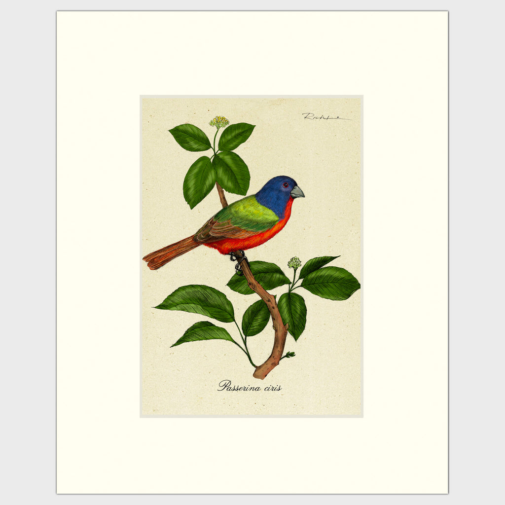 Art prints for sale-Traditional rendering of a painted bunting perched on small bush