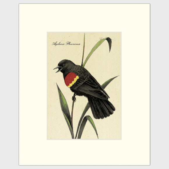 Art prints for sale-Traditional rendering of a red-winged blackbird calling