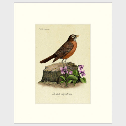 Art prints for sale-Traditional rendering of an American Robin standing alert on a small tree stump