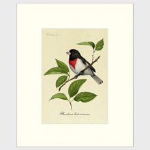 Load image into Gallery viewer, Art prints for sale-Traditional rendering of a rose-breasted grosbeak sitting on a branch