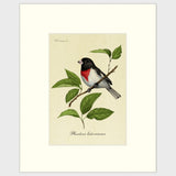 Art prints for sale-Traditional rendering of a rose-breasted grosbeak sitting on a branch