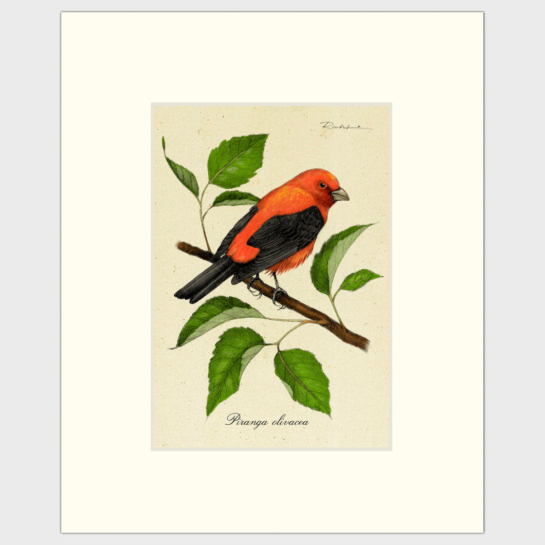 Art prints for sale-Traditional rendering of a scarlet tanager resting on a branch of a mulberry bush