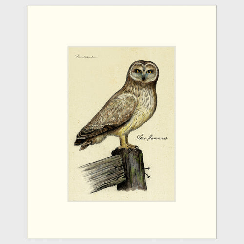 Art prints for sale-Traditional rendering of a short-eared owl standing on an old fence post