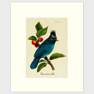 Art prints for sale-Traditional rendering of Steller's Jay sitting on a branch of a berry tree