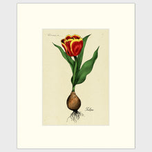 Load image into Gallery viewer, Tulip Bulb