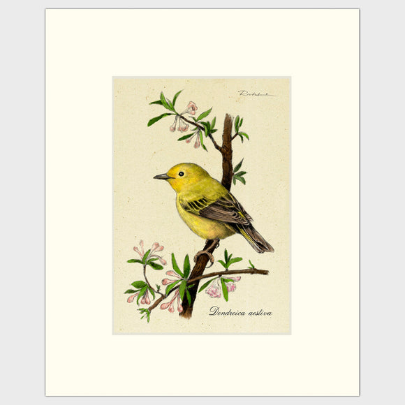 Art prints for sale-Traditional rendering of a yellow warbler perched on a branch with spring blossoms