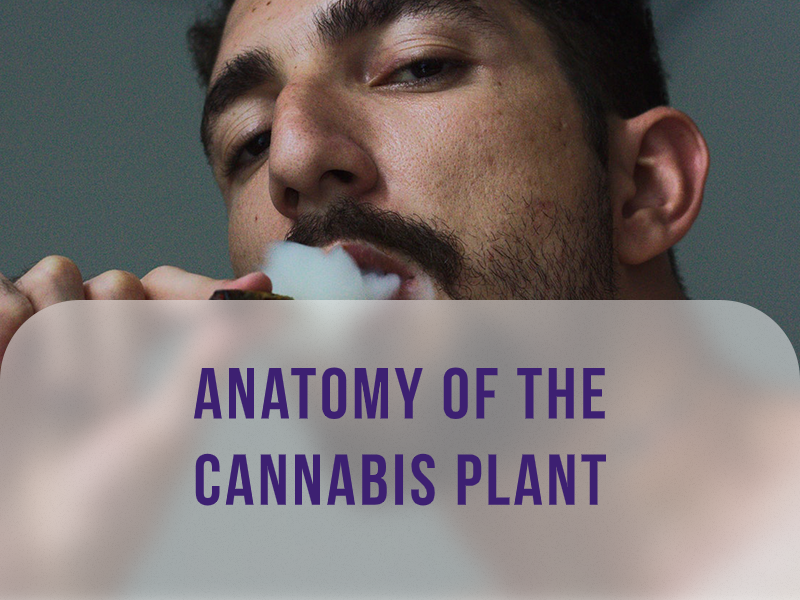 Anatomy of the Cannabis Plant