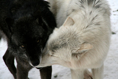 The Good Wolf and The Bad Wolf