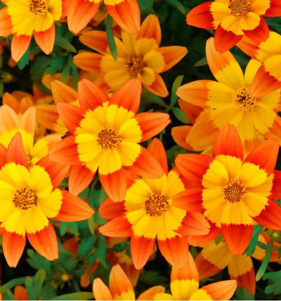 Bidens orange