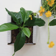 Grow Your Own Lemon Tree Kit