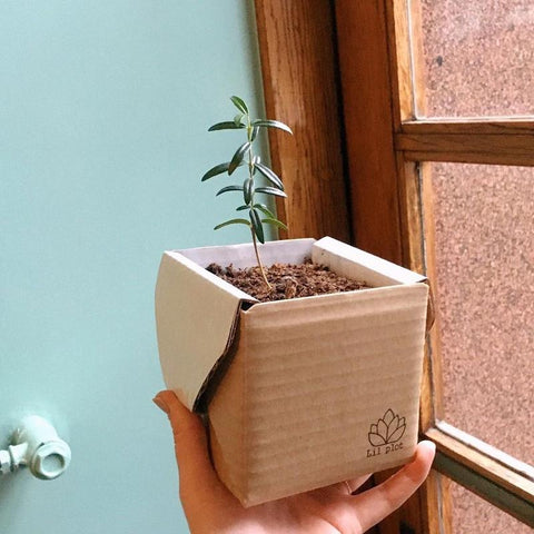 Grow Your Own Olive Tree Kit