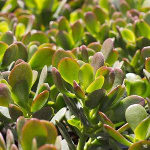 Crassula -Ovata Minor