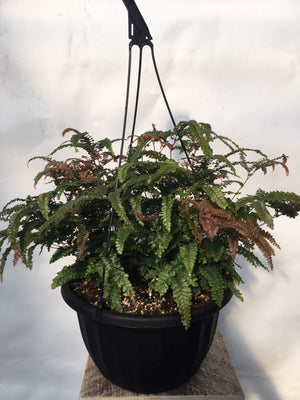 Specialty Fern Hanging Baskets