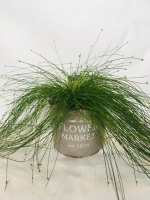 Live Wire in Deco Pot