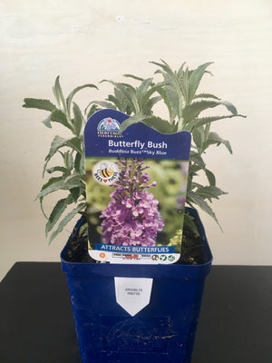 Buddleia- Butterfly Bush