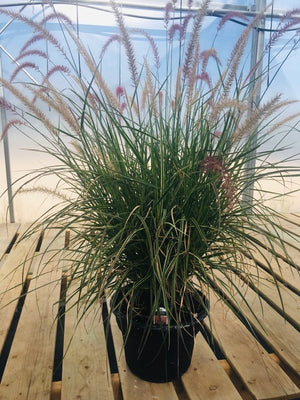 "10"" Annual Fountain Grass"