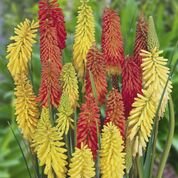 Kniphofia Flamenco Mix
