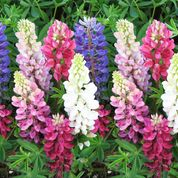 Lupine -Mix Colours